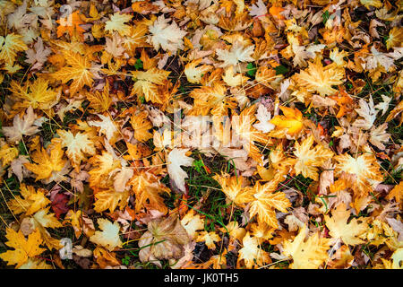 maple leaves on the ground after the autumnal fall of leaves, ahornblaetter am boden nach dem herbstlichen laubfall - Stock Photo