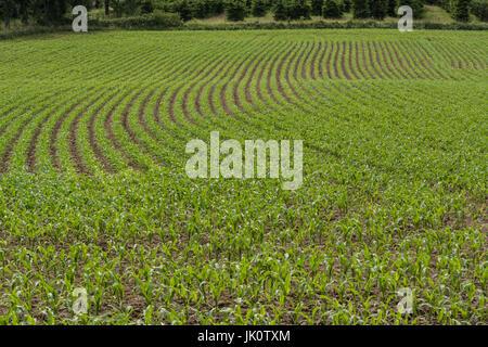 Rows of corn seedlings on a field in Germany. - Stock Photo