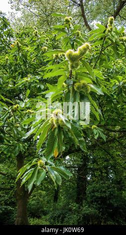 branch of a sweet chestnut with closed spiny fruit covers, ast einer edelkastanie mit geschlossenen stacheligen fruchthuellen