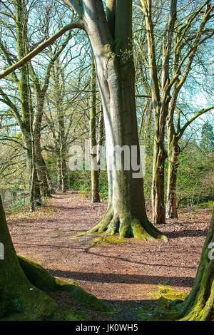 trench from copper beeches in the spring before the lukewarm construction desire, gruppe von rotbuchen im fruehjahr - Stock Photo