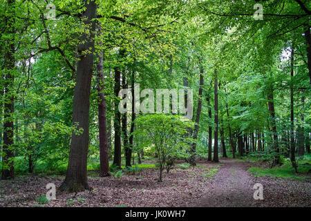 bright Buchenwald with May-green lukewarm construction desire, lichter buchenwald mit maigruenem laubaustrieb - Stock Photo