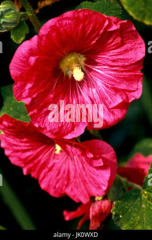 luminous-red blossom of the floor rose. bright red hollyhock., leuchtendrote bluete der stockrose. bright red hollyhock. - Stock Photo