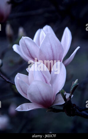 branch with two magnolias-bl?ten. two magnolias., zweig mit zwei magnolien-blueten. two magnolias. - Stock Photo