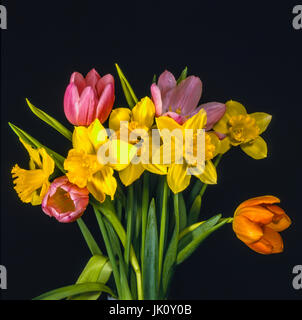 tiefrosa and orange tulips, arranges with yellow narcissi and of those turn the leaves. pink and orange tulips, - Stock Photo