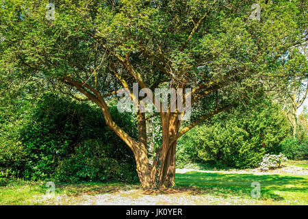 park gaertnerisch cultivated older yew in, gaertnerisch gepflegte aeltere eibe im park - Stock Photo