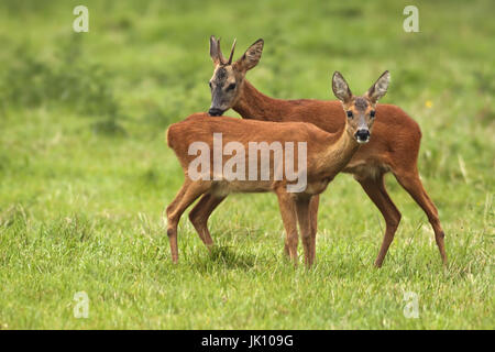 Roe deer in the early morning, Rehe am frühen Morgen - Stock Photo