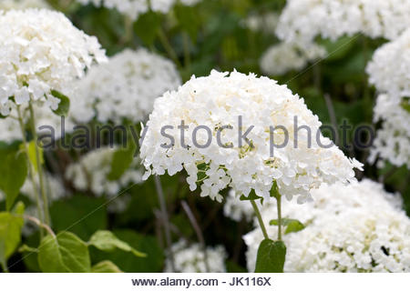 Hydrangea arborescens 'Annabelle' flowering in Summer. - Stock Photo