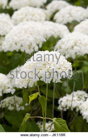 Hydrangea arborescens 'Annabelle' flowering in Summer. - Stock Photo