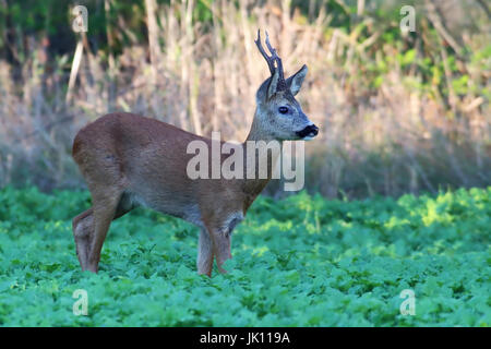 Roebuck in the field, Rehbock im Feld - Stock Photo