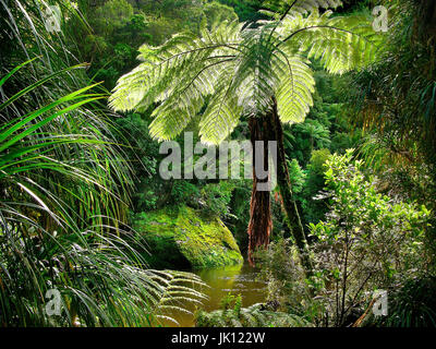New Zealand, gigantic ferns in the rain forest, Paparoa national park,, Neuseeland, Riesenfarne im Regenwald, Paparoa - Stock Photo