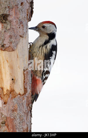 Middle woodpecker picoides medius, Mittelspecht (picoides medius) - Stock Photo