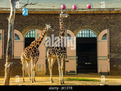 Two Giraffes in the Zoo, London - Stock Photo