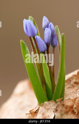 Blue star, 2-leaved scilla bifolia, Blaustern, zweiblaettrig (scilla bifolia) - Stock Photo