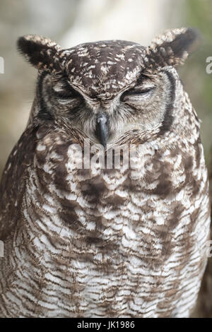 African Spotted Eagle Owl in captivity - Stock Photo