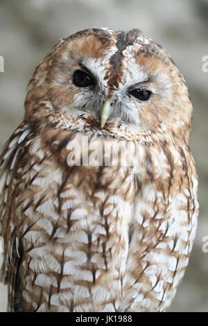 Tawny Owl in Captivity. - Stock Photo