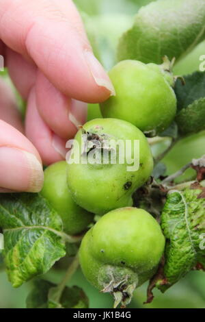 Gardener thinning young Bramley Seedling apples (malus domestica) in summer to encourage good size, healthy fruits, - Stock Photo