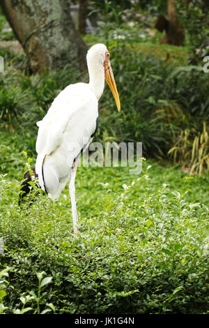 Backside of yellow-billed stork bird with white closed wings standing still on the green grass ground in the afternoon. - Stock Photo