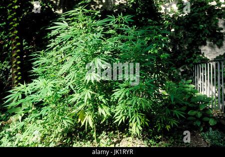 ... Cannabis Pflanzen Im Garten   Stock Photo