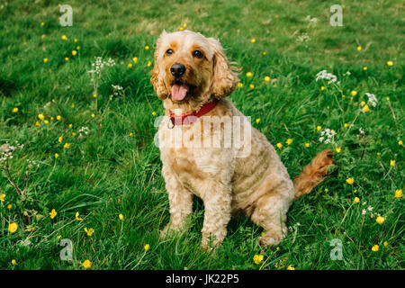 Happy Cockapoo dog - Stock Photo