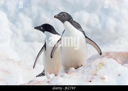 A pair of Adelie penguins looking at the camera in Antarctica - Stock Photo