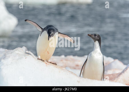 A pair of Adelie penguins on the ice in Antarctica - Stock Photo