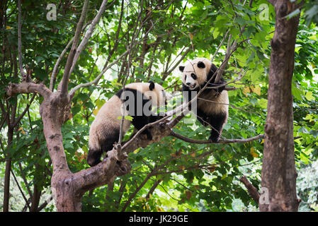 Two giant panda cubs playing in a tree - Stock Photo
