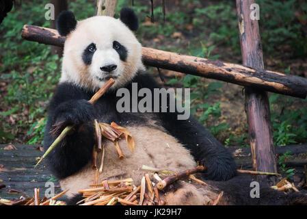 Giant panda looking at camera and eating bamboo, Chengdu, Sichuan Province, China - Stock Photo