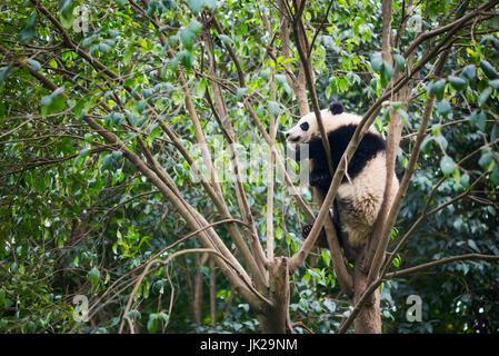 Giant panda cub sleeping in a tree, Chengdu, Sichuan Province, China - Stock Photo