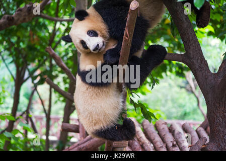 Two giant panda cubs playing together in a tree, Chengdu, Sichuan Province, China - Stock Photo