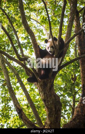 Giant panda sleeping in a tree, Chengdu, Sichuan Province, China - Stock Photo