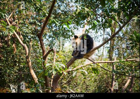 Young panda sleeping in a tree, Chengdu, Sichuan Province, China - Stock Photo