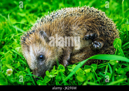 Little hedgehog in the grass. - Stock Photo
