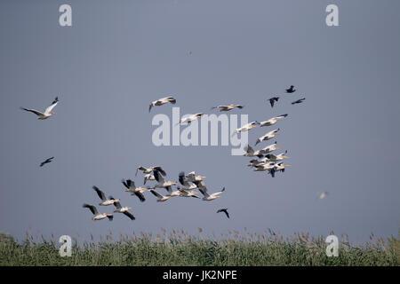 Great white-pelican, Pelecanus onocrotalus, large flock in flight,  Romania, July 2017 - Stock Photo