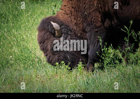 Buffalo 9American Bison) roam the native mixed grass prairie of the Wichata Mountains in SW Oklahoma. - Stock Photo