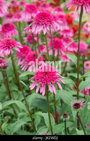 Echinacea 'Elegance'. Coneflowers