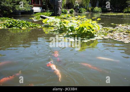 Orange white and multi colored koi carp fish swimming in for Pool koi aquatics ltd