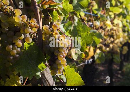 France, Haut-Rhin, Alsace Region, Alasatian Wine Route, Hunawihr, vineyard, autumn - Stock Photo