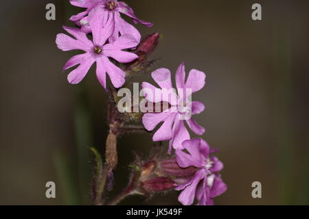 Red campion, Silene dioica, flowers - Stock Photo