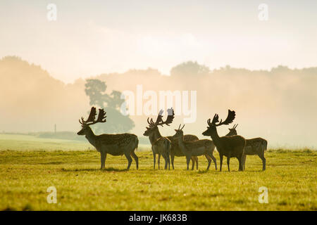 Knutsford Cheshire, UK.   UK Weather. 22nd July, 2017. Elegant Fallow Deer stags prized as ornamental species, warm - Stock Photo