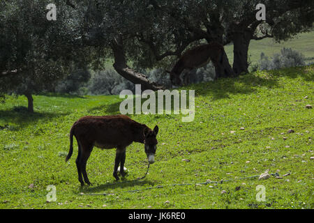 Tunisia, Northern Tunisia, Sejenane, Sejenane River Valley, springtime, donkey - Stock Photo