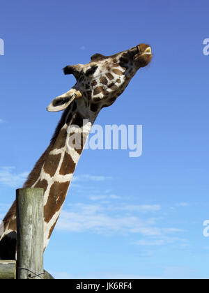 A reticulated giraffe at the Gulf Shore Zoo in Alabama. - Stock Photo