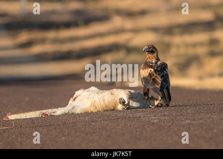 Wedge-tailed Eagle, Aquila audax and Roadkill - Stock Photo