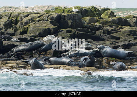 Grey seals basking on rocks - Stock Photo