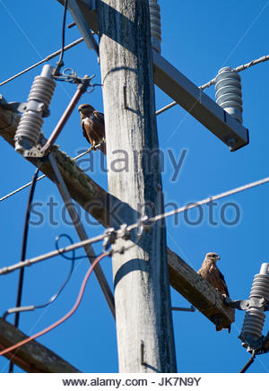 A pair of Black Kites(Milvus migrans affinis), resting on a power pole/transformer; on the banks of the Clarence - Stock Photo
