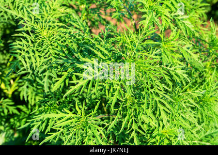 American common ragweed - Stock Photo