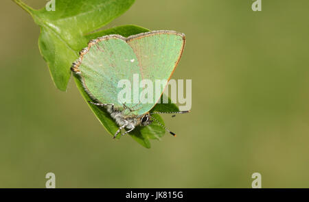 A stunning Green Hairstreak Butterfly (Callophrys rubi) perched on a leaf. - Stock Photo
