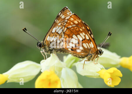 A stunning pair of rare Duke of Burgundy Butterfly (Hamearis lucina) perched on a cowslip flower (Primula veris). - Stock Photo