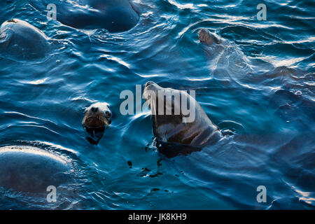 USA, California, Central Coast, Monterey, Fishermans Wharf, Northern Elephant Seals, mirounga angustirostris - Stock Photo