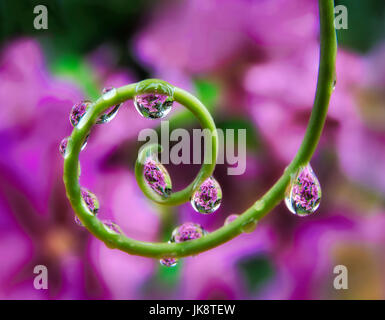 Clematis seen through beads of water on tendril of passion flower plant. Oregon - Stock Photo