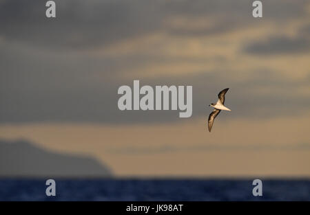 Zino's Petrel - Pterodroma madeira - Stock Photo